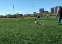 Wally Bytnar herding geese and goslings from the Weiss Hospital parking lot in Chicago.