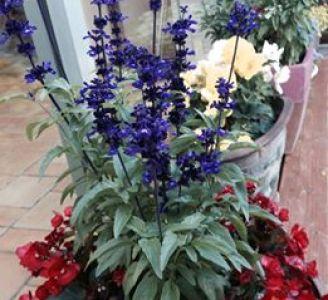 lavender 2-1