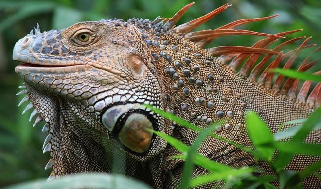 iguana bakımı ve beslenmesi