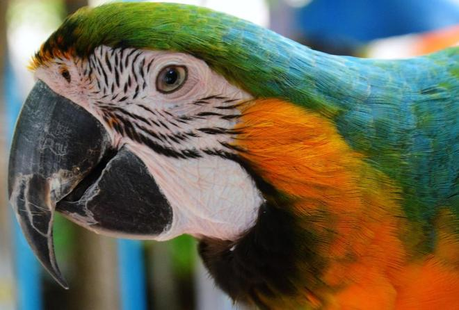 papağan türleri ve doğal yaşam alanları 2