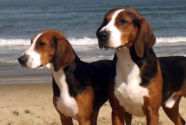 Hamilton av köpeği veya tazısı