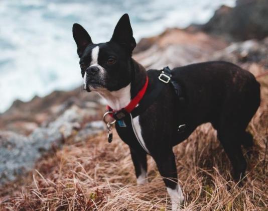 Boston Terrier Küçük Cins
