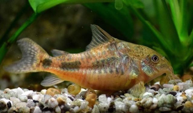 akvaryum balık cinsleri - çöpcü