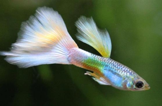 akvaryum balık türleri - Lepistes