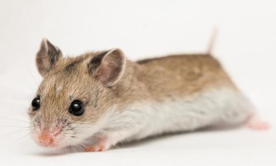 çin hamsterı (chinese hamster)