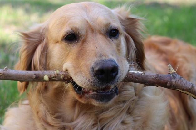 en iyi köpek cinsleri