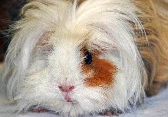 Uzun tüylü guinea pig