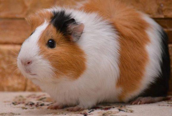 Guinea Pig Türleri - American