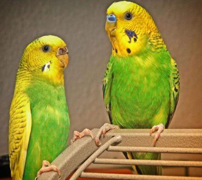 erkek ve dişi muhabbet kuşu