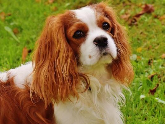 Süs Köpeği Cinsleri - King Charles