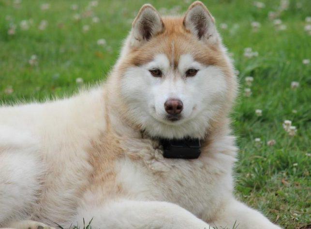 Husky köpeği - Siberian Husky