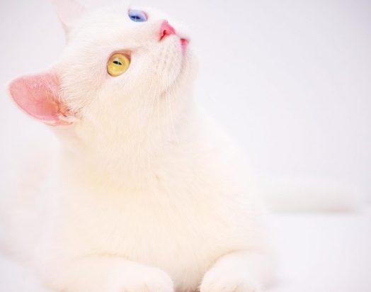 van kedi ve genel özellikleri