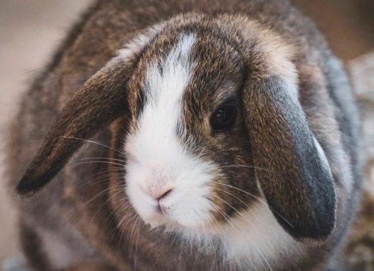 lop tavşanı