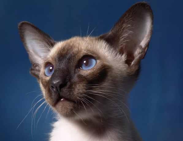 siyam kedisi ve özellikleri