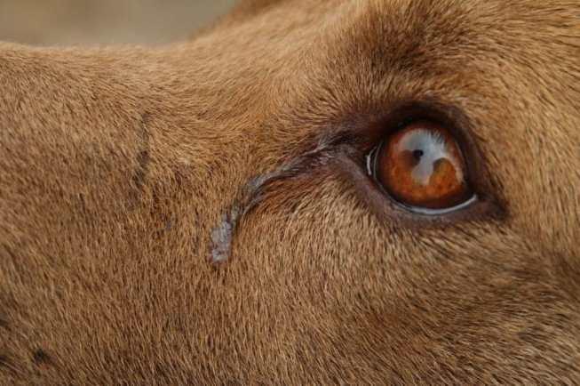 köpekler ağlar mı?