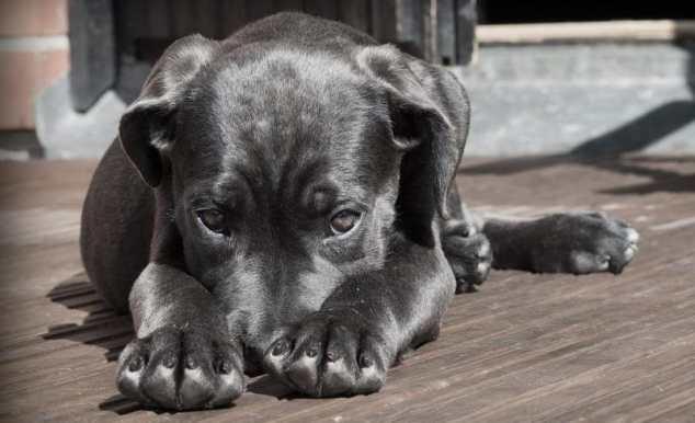 köpeklerde idrar kaçırma sorunu