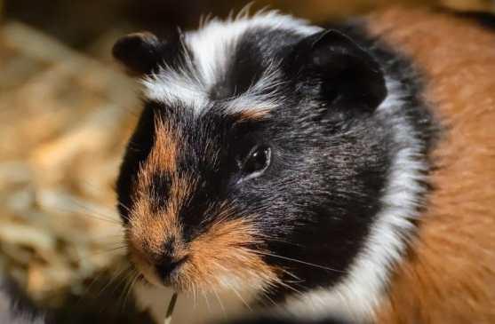 guinea pig ve hamster arasındaki farklar