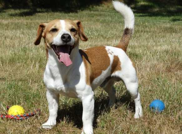jack russell terrier ve özellikleri