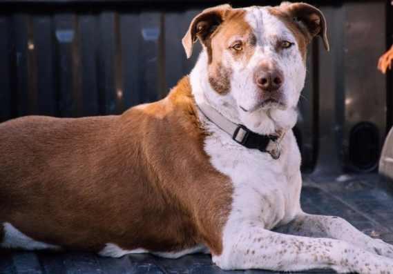 köpeklerde artrit