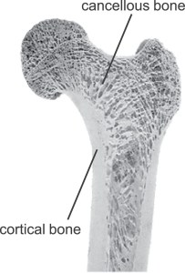 A cross-section of a human femur, look at how cancellous bone is a lot less dense than the cortical bone.