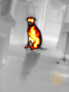 Thermal image of a sitting dog