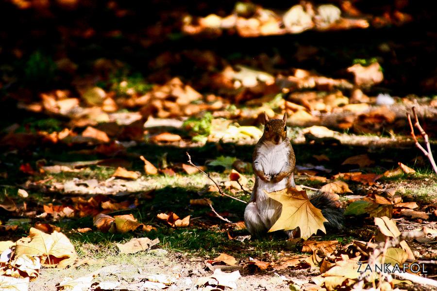 London Squirrel