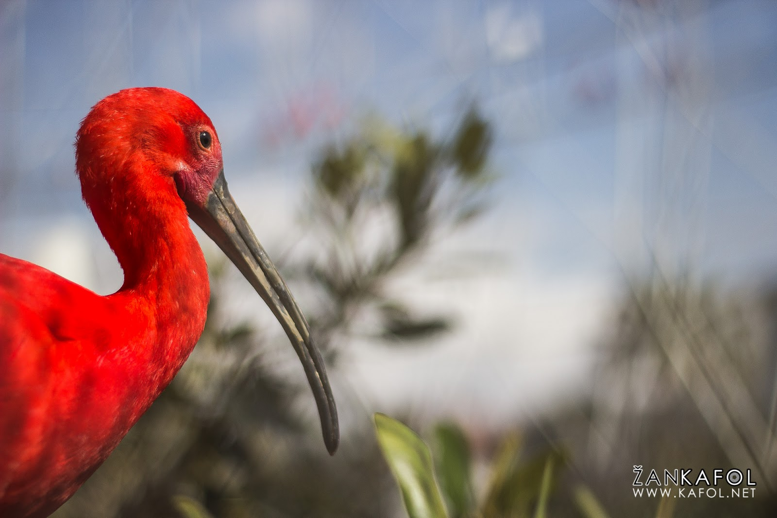 Škrlatni ibis (Eudocimus ruber)