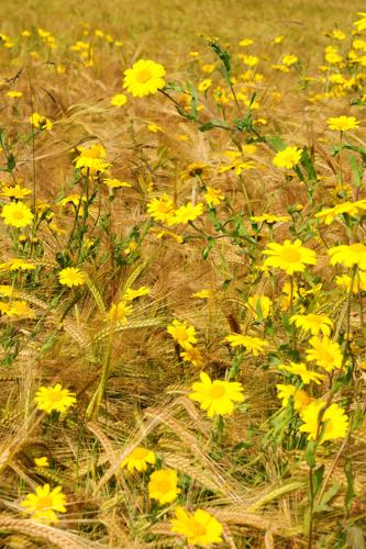 Corn Marigolds, Toberchurn, Black Isle