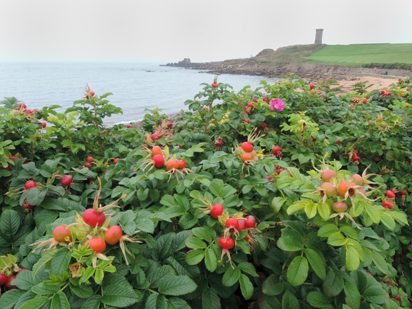 Mile 61 - Rosehip, Anstruther Wester. Sponsored by Dawn Carson, Kathleen and Robert Thorburn, Lorna and Ken Wilson, Colin Aimers, John Gaskell and Stina and Robert MacDonald.