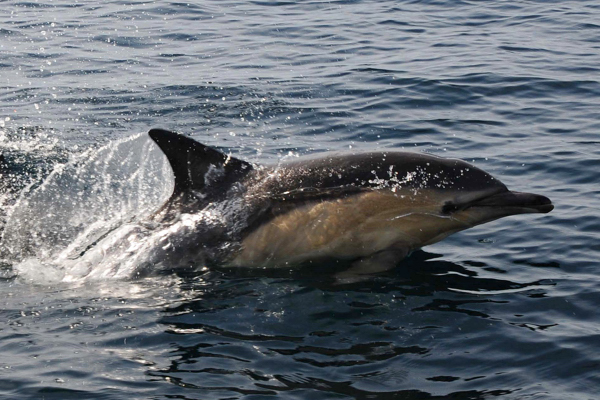 Bottlenose Dolphin, Sound of Sleat