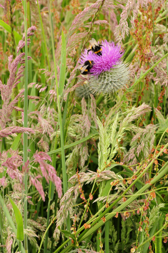 Thistle and Bumblebees, Cullicudden - June 2014