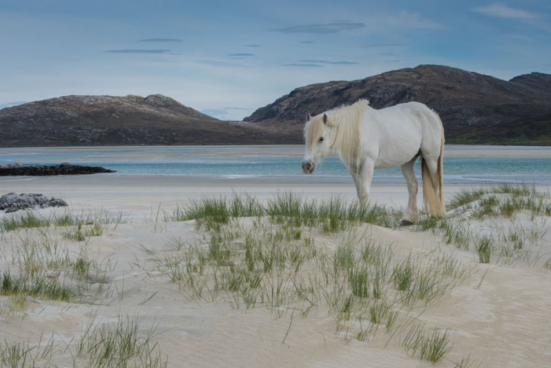 A white Eriskay pony standing side on, on a low sand dune with a turquoise bay in the background, with rocky hills beyond