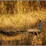 Peacock at Kanha National Park, MP. Photo Source: flickr