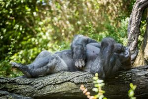 Lounging gorilla for an article on Bronx Zoo photo tips