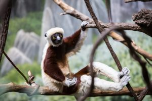 Conquerel's sifaka for an article on Bronx Zoo photo tips