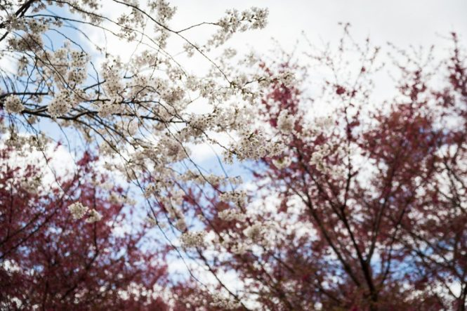 Cherry blossoms in Queens