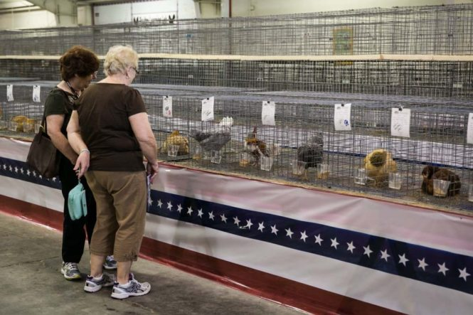 Chickens at the Florida State Fair, photographed by NYC photojournalist, Kelly Williams