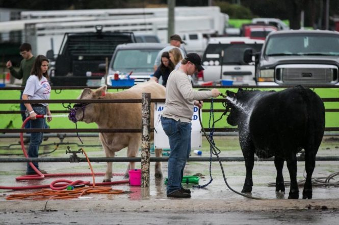 Cows being washed at the Florida State Fair, photographed by NYC photojournalist, Kelly Williams