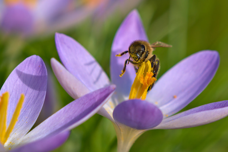 Busy Bee working on a crocus in winter sun