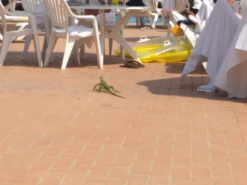 An iguana that visited by the pool.