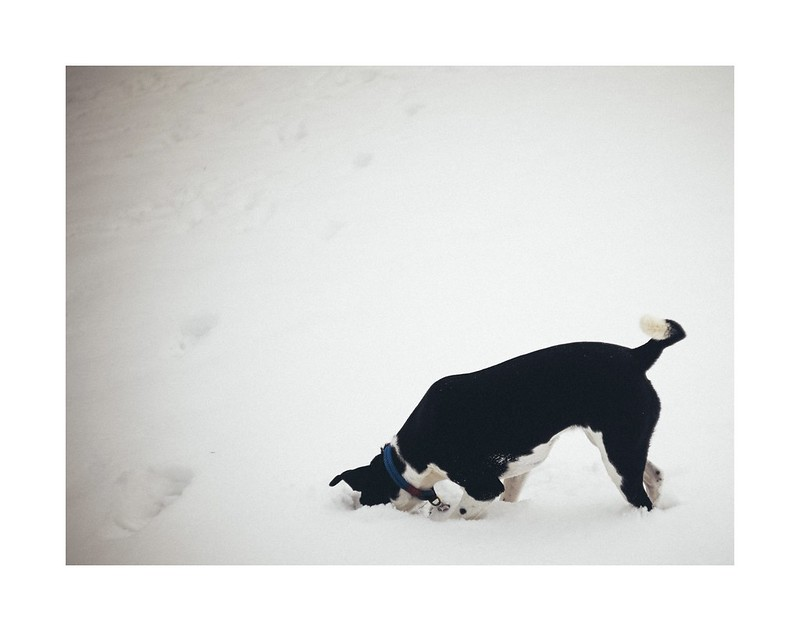 A black dog with their head in the snow looking for something.