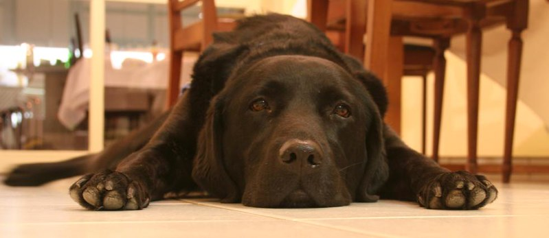 """Closeup of a black labrador dog laying on the ground """"like a doormat"""" with an out of focus dining room table and kitchen behind it."""