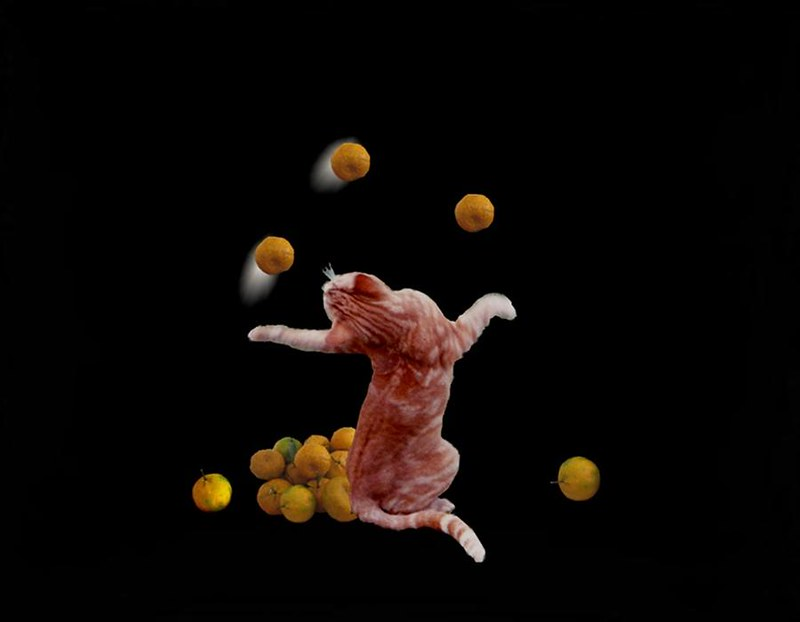 Image of what appears to be a cat juggling oranges.