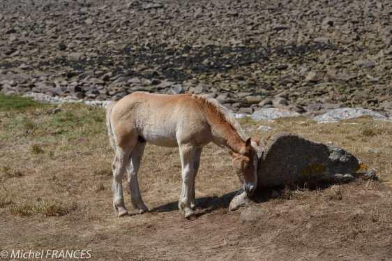 Mes copains les chevaux de Landunvez croissent et prospèrent