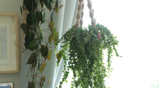 垂れ下がる系ハンギンググリーンの水やり頻度と方法は?