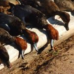 Duck Hunting Chew free (pic 2) by Smeds