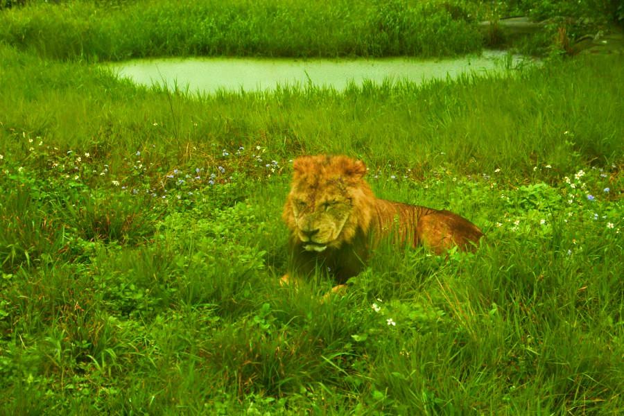六福村動物園/非洲部落獅子