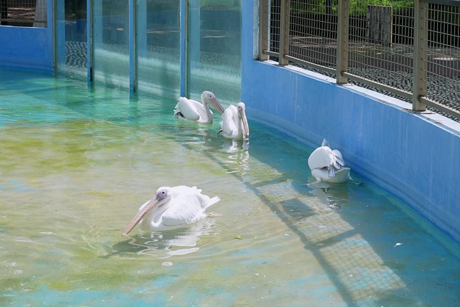 台南頑皮世界野生動物園:鵜鶘