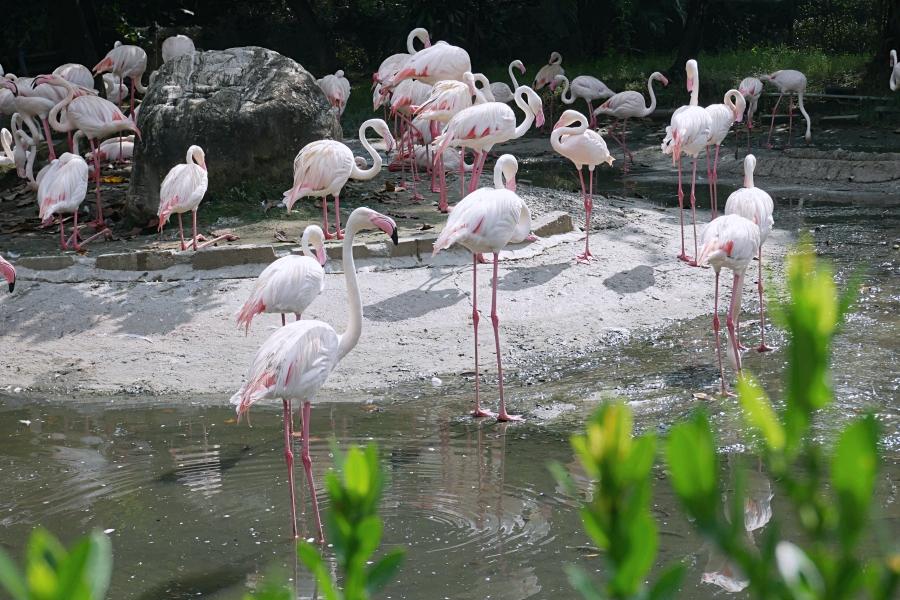台南頑皮世界野生動物園:紅鶴