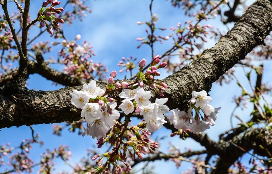 阿里山櫻花/阿里山景點/阿里山旅遊